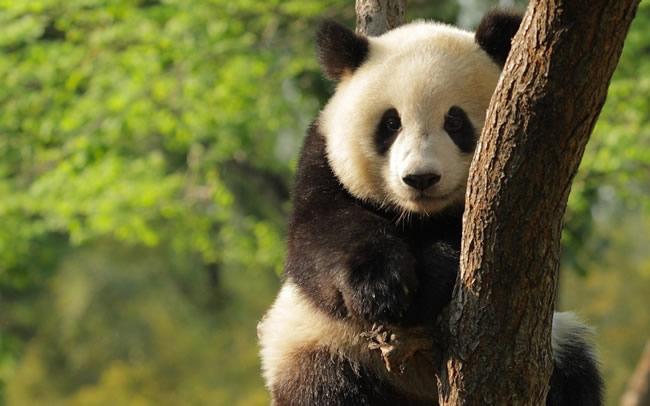 就在今年,就在沈阳森林动物园!咱沈阳又有大熊猫啦!