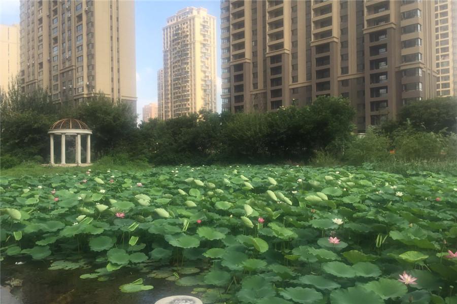 园区600平米的人工湖的荷花